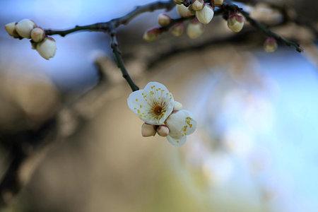 2010.01.24 浜離宮 満月枝垂-7