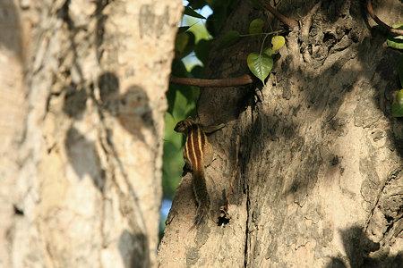 2010.01.31 バナーラス ダメーク・ストゥーパ 菩提樹にリス