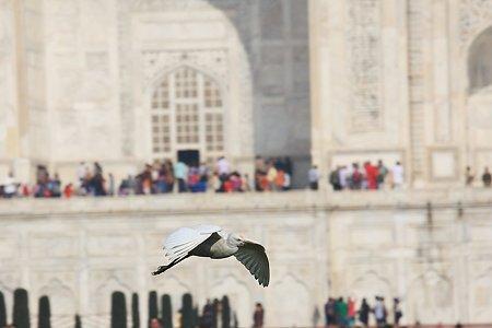 2010.02.03 アーグラー タージ・マハル サギが飛んで来る