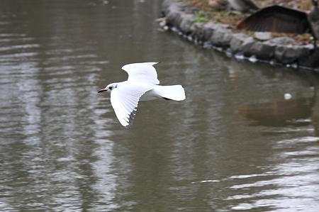 2010.03.05 鎌倉 八幡宮 ユリカモメ