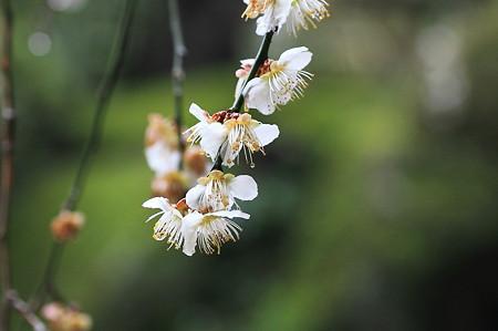 2010.03.05 鎌倉 報国寺 白梅