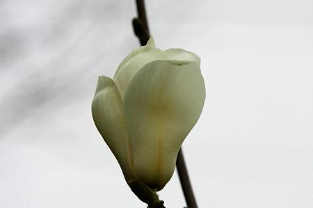 2010.03.15 和泉川 ハクモクレン