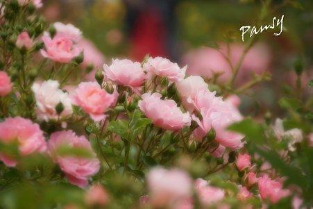 rose garden..3