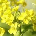 写真: 満面の笑み・・ 菜の花。。2010 吾妻山公園 1