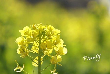 菜の花。。2010 吾妻山公園 2