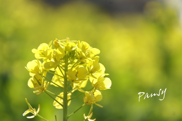 写真: 菜の花。。2010 吾妻山公園 2