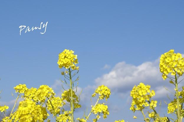 写真: みずいろの空へ・・ 菜の花。。2010 吾妻山公園 3