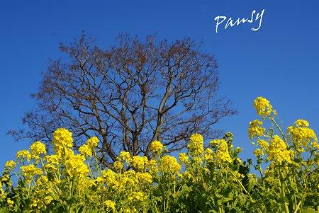 青い空と・・樹と・・菜の花。。2010 吾妻山公園 7