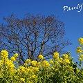 写真: 青い空と・・樹と・・  菜の花。。2010 吾妻山公園 7