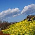 写真: 届きそうな雲と・・  菜の花。。2010 吾妻山公園 8