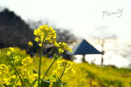 菜の花。。2010 吾妻山公園 9