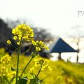 写真: 海へむかって・・  菜の花。。2010 吾妻山公園 9