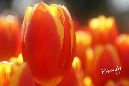 Winter Tulips..1