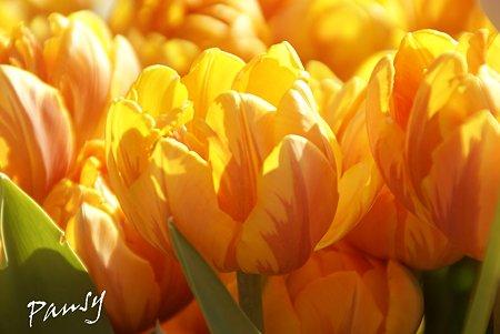 Winter Tulips..3