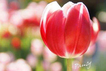 Winter Tulips..4