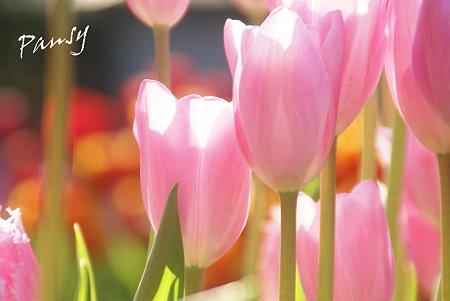 Winter Tulips..5