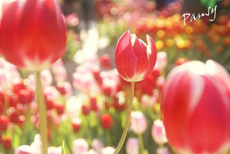 Winter Tulips..6