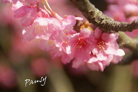 花盛り~ 河津桜