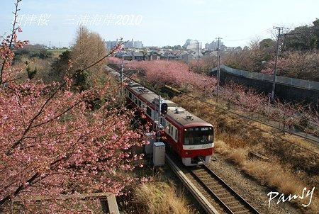 河津桜咲く・・三浦海岸・・8