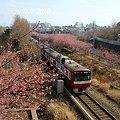 写真: 河津桜咲く・・三浦海岸・・8