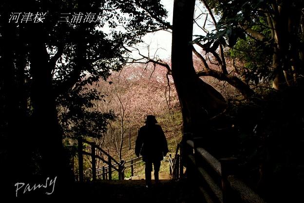 写真: 河津桜咲く・・三浦海岸・・9