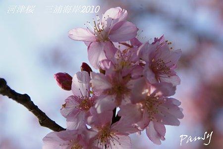 河津桜咲く・・三浦海岸・・16
