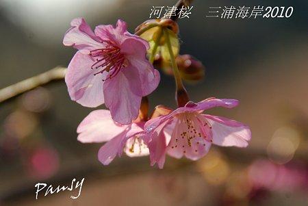 河津桜咲く・・三浦海岸・・17