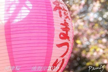 河津桜咲く・・三浦海岸・・18