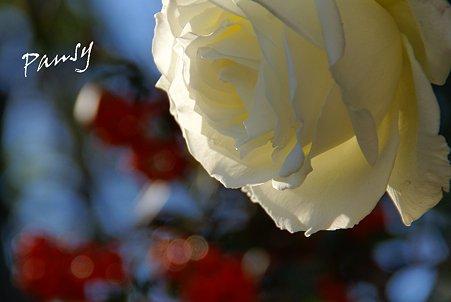 白いバラと・・紅い椿・・