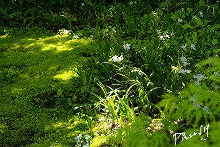 苔庭のシャガ・・