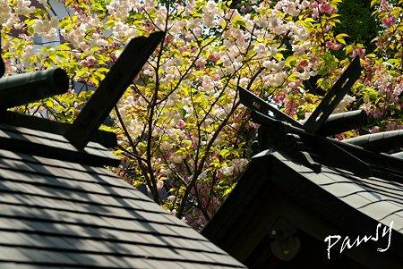 八重桜咲く・・亀戸香取神社・・