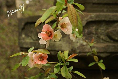 木瓜の花・・安国論寺・・9