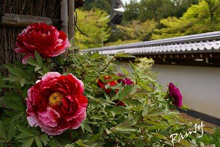 円覚寺の牡丹・・3