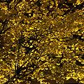 写真: 黄葉の銀杏白旗神社前091121-012