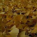 写真: 落ち葉の彩り!(091129)