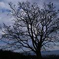 Photos: 天に伸びる、エノキの大木!(100116)