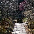 Photos: 参道を彩る紅白の梅!(100130)