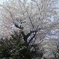 写真: これは桜。