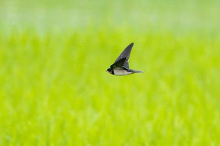 ツバメの飛翔4
