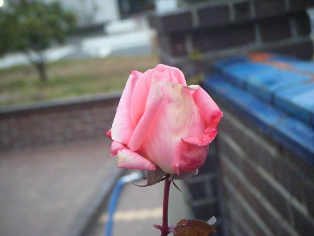 写真: 0100107rose 057