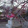 Photos: 神明社狛犬前 梅