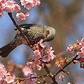 写真: 100228ヒヨドリと河津桜5