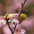 Photos: 110304-5河津桜とメジロ