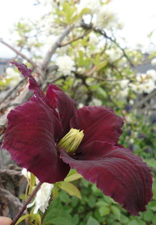 ニオべ一番花