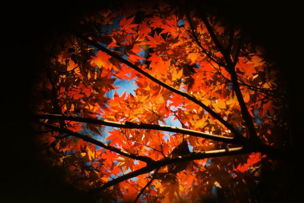 紅葉模様の団扇