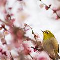 写真: 梅の中で
