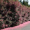 道路を染めるサザンカ(山茶花)  ツバキ科
