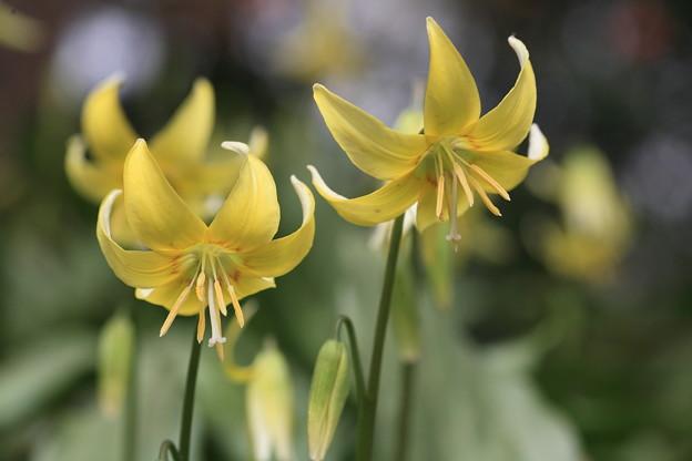 黄花かたくり-2