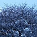 Photos: 崖の上の桜 満開