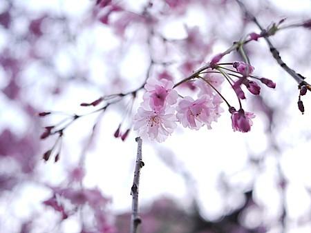 花見事情 2011